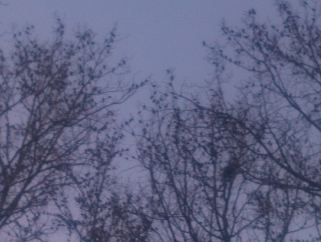 Birds in trees preparing to swarm